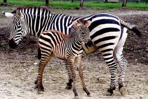 304480_zebra.jpg